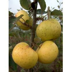 Cider apple Sweet Alford MM106 rootstock