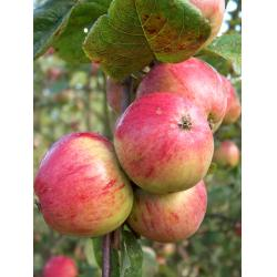 Cider apple Yarlington Mill MM106