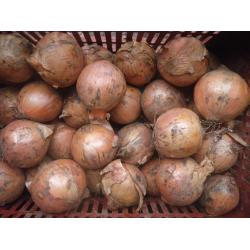 large onions