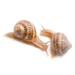 live edible snails