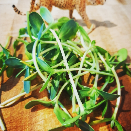 Sweet & Nutty Sunflower Shoots