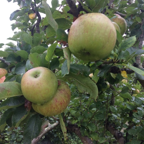 Nissi Bramley cooking apples