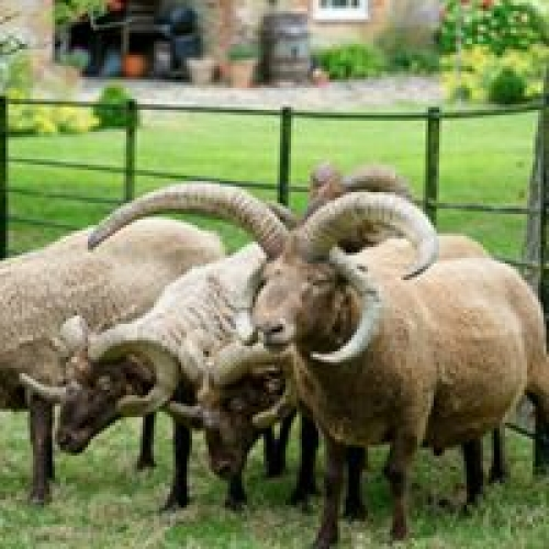 Whole Langley Chase organic Manx Loaghtan lamb
