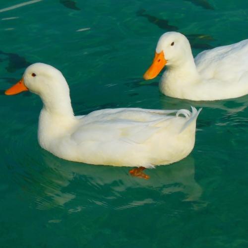 3kg Wiltshire Duck