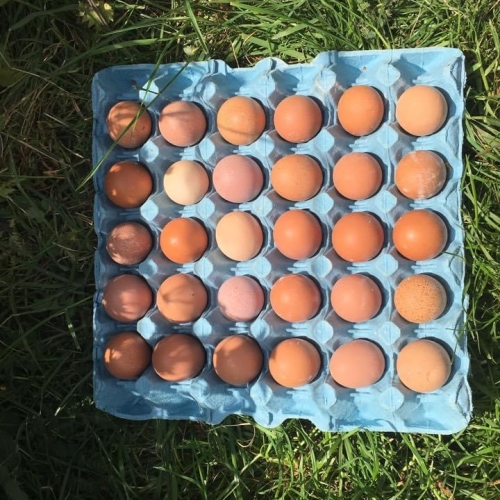 Pullets Eggs