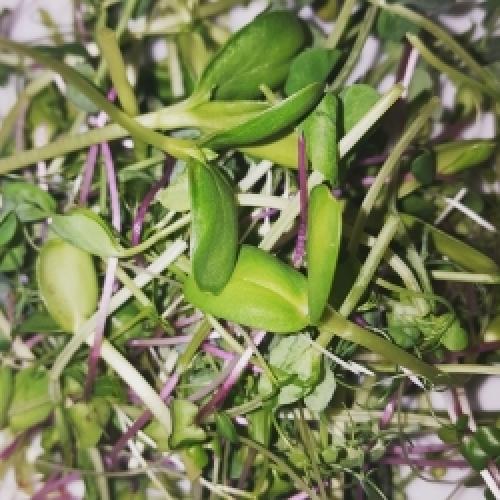 Seasonal Salad Mix of Microgreens