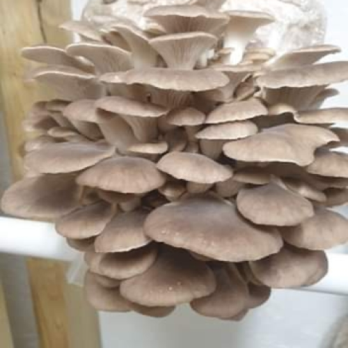 Summer Oyster Mushroom Growing Kit - Foragers Table