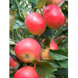 Apple Discovery M26 rootstock