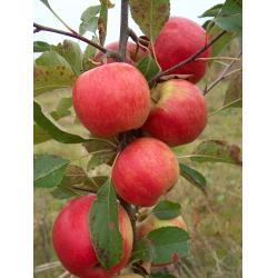 Apple Red Falstaff M26 rootstock