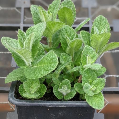 Bowles Mint herb plant, 9cm pot