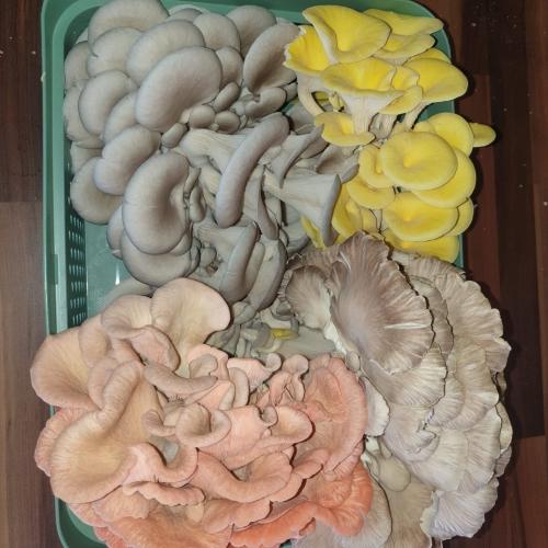 Oyster Mushroom Mixed bag