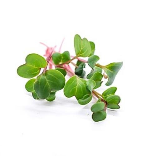 China Rose Radish Microgreens