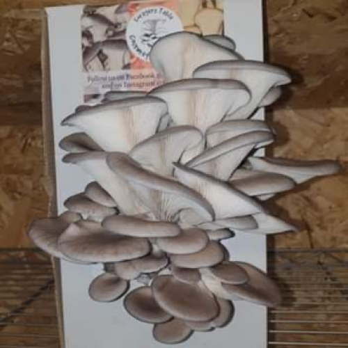 Elm Oyster Mushroom Growing Kits - Foragers Table