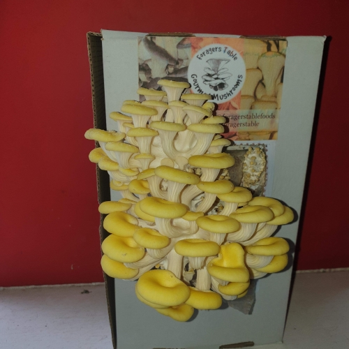 Gold Oyster Mushroom Growing Kits - Foragers Table
