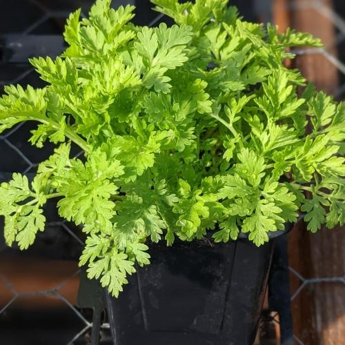 Feverfew herb plant, 9cm pot