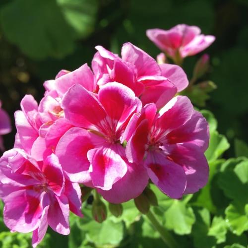 Upright Geranium / White & Pink