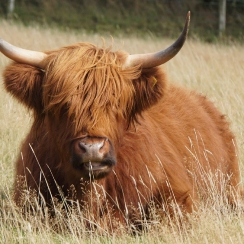 Highland Beef