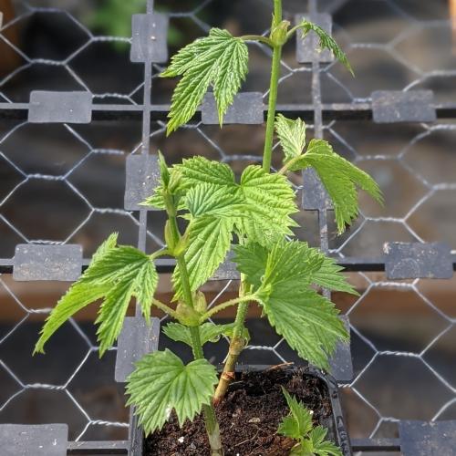 Fuggle Hop herb plant, 9cm pot