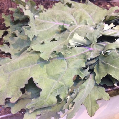 Nissi Russian Kale