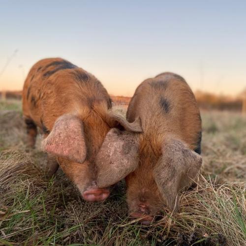 Small Pork Box