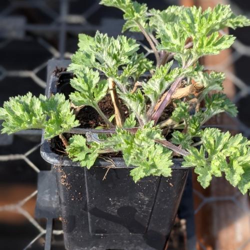Mugwort herb plant, 9cm pot