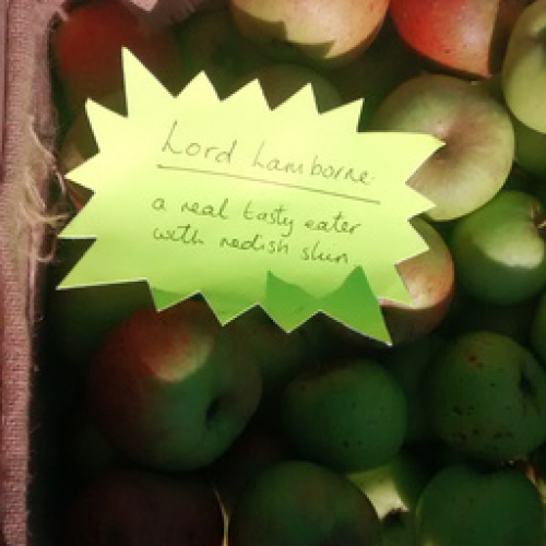 ORGANIC APPLES, LORD LAMBORNE, GROWN IN PYWORTHY.