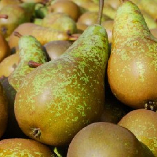 Conference Pears /m