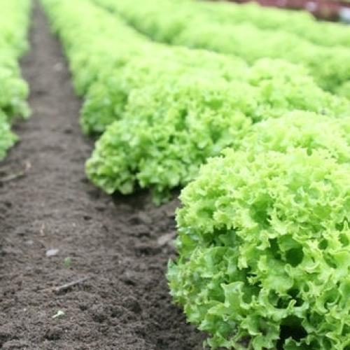 Organic Salad Bag S