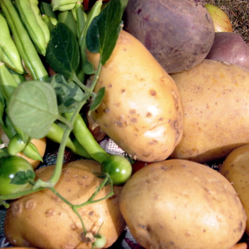 Cornish Wilja Potatoes