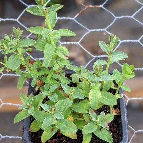 St John's Wort herb plant, 9cm pot