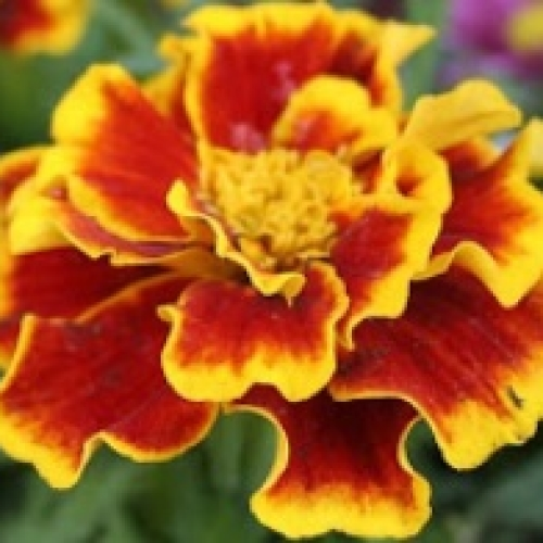 Red & Yellow Marigold Plants
