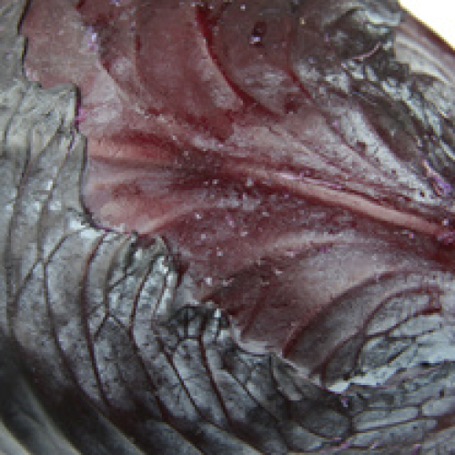 RED CABBAGE CORNISH/T