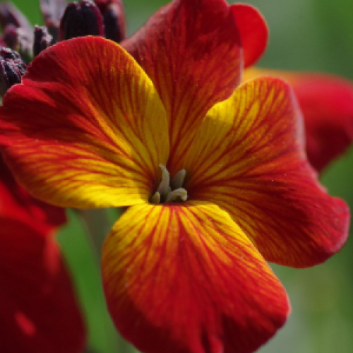 Red & Orange English Wallflower