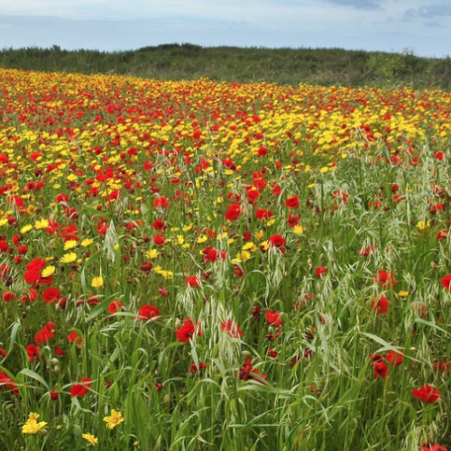 'Cornfield Jewels' Wild flower seed mixture