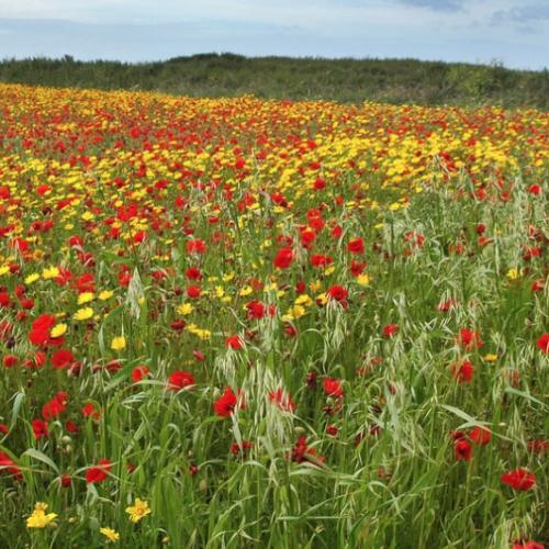 'Cornfield Jewels' Wild flower seed mixture