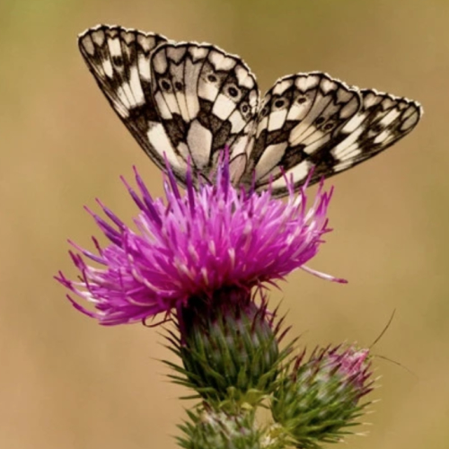Perfect for Pollinators' Wild flower seed mixture