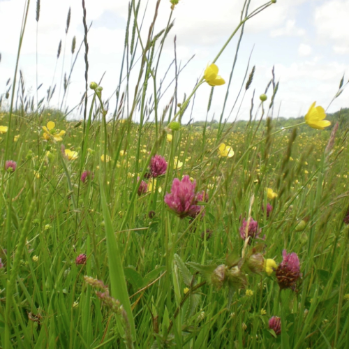 'Meadow Maker Plus' Wild flower seed mixture