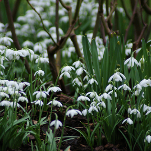Winter and Snowdrops Walk: Breakfast and a Guided Walk 6th February 2019