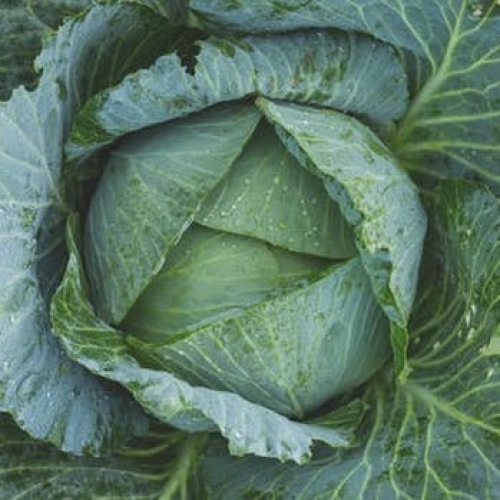 Hispy (sweetheart) Cabbage