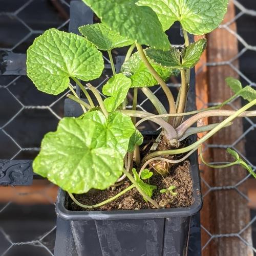 Wasabi herb plant, 9cm pot